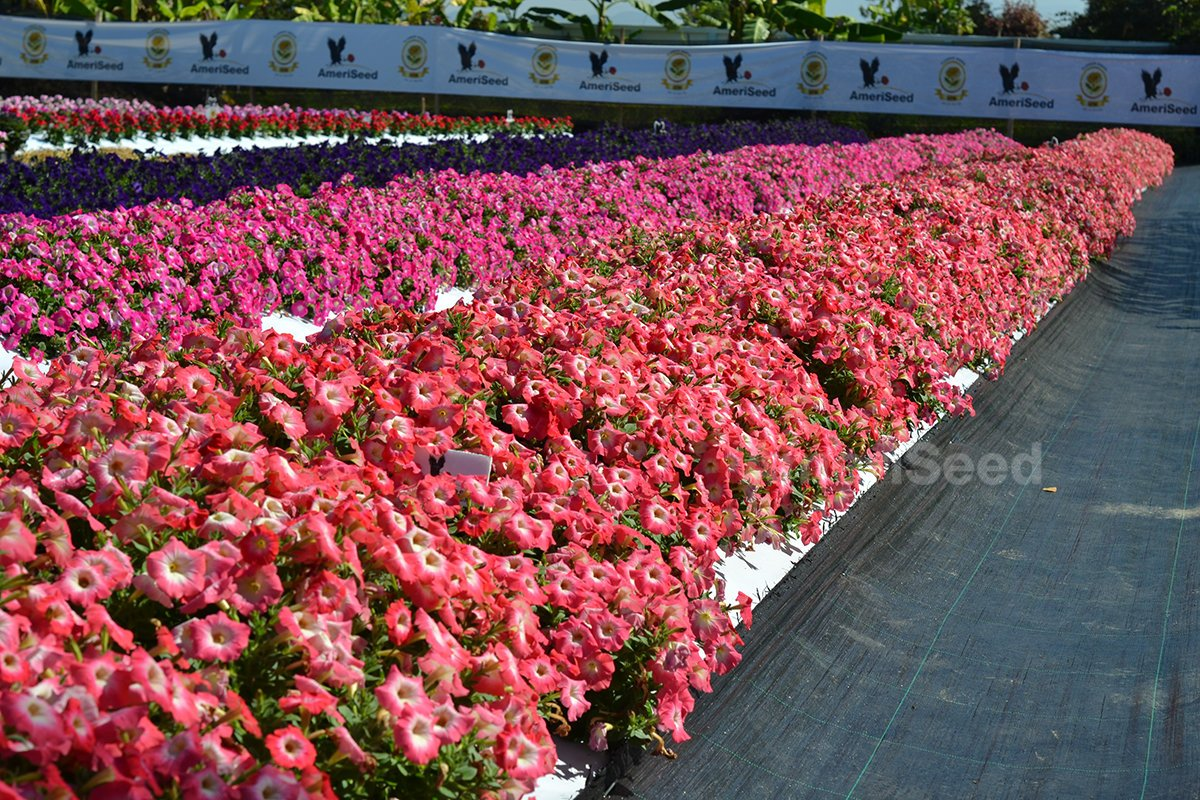 Hotunia-Radiance-The-best-choice-for-landscape