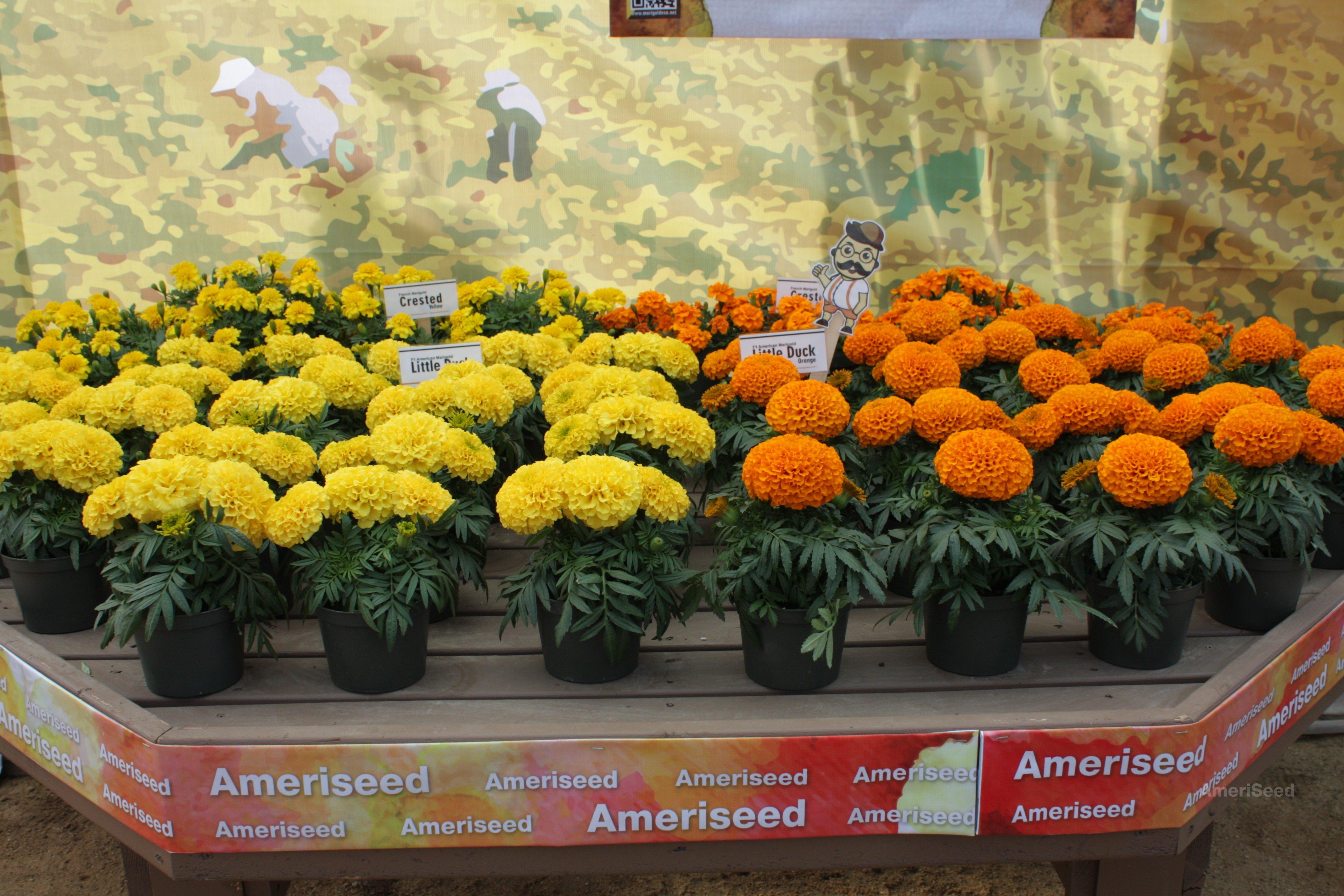 Little-Duck-Orange-and-Yellow-