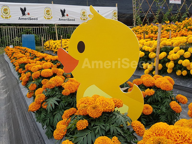 Tagetes-erecta-Little-Ducks-1