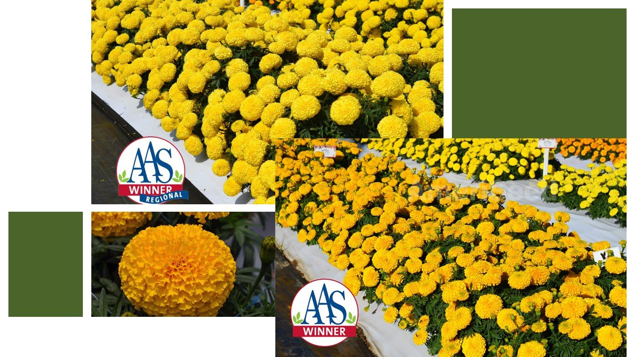 The-Top-5-AmeriSeed-Flowers-to-sow-this-Spring-for-Beautiful-Summer-Long-Blooms.10