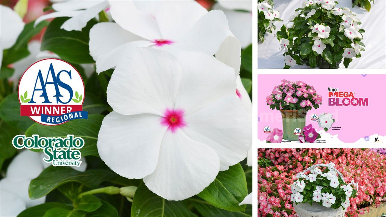 The-Top-5-AmeriSeed-Flowers-to-sow-this-Spring-for-Beautiful-Summer-Long-Blooms.5