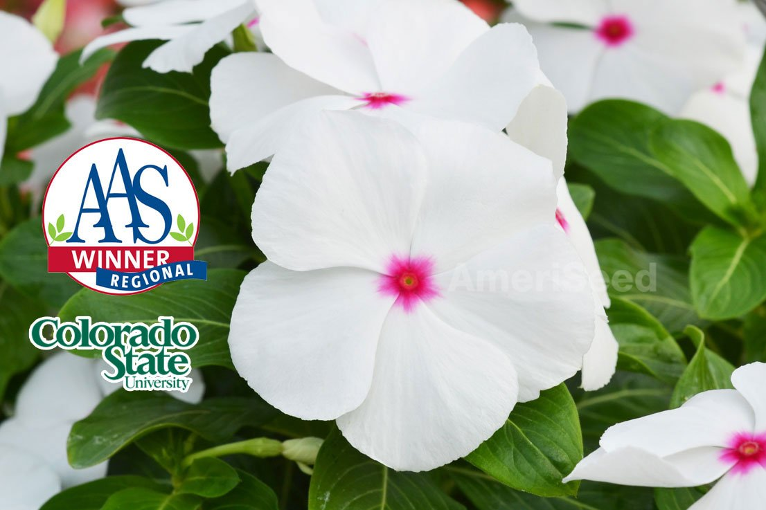 The-Top-5-AmeriSeed-Flowers-to-sow-this-Spring-for-Beautiful-Summer-Long-Blooms.7