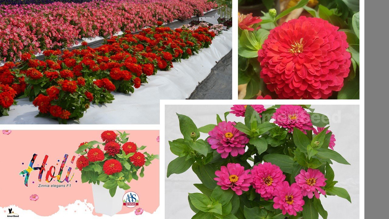 The-Top-5-AmeriSeed-Flowers-to-sow-this-Spring-for-Beautiful-Summer-Long-Blooms.9
