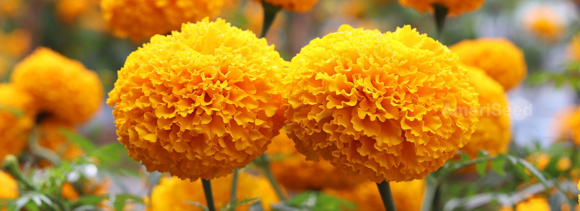American Marigold