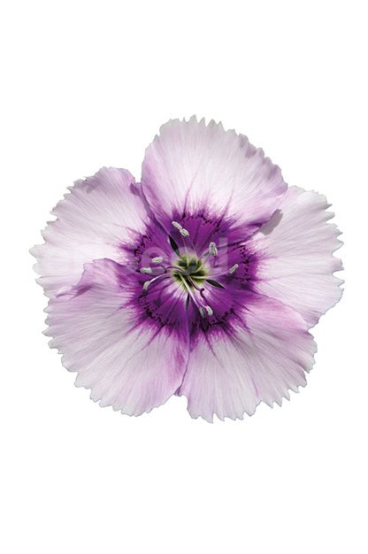 A-lavender-picotee-4