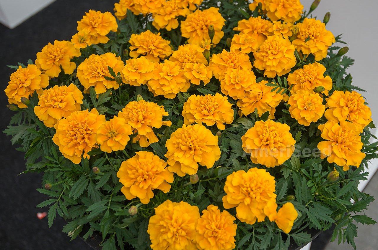 MARIGOLD-FRENCH-gold