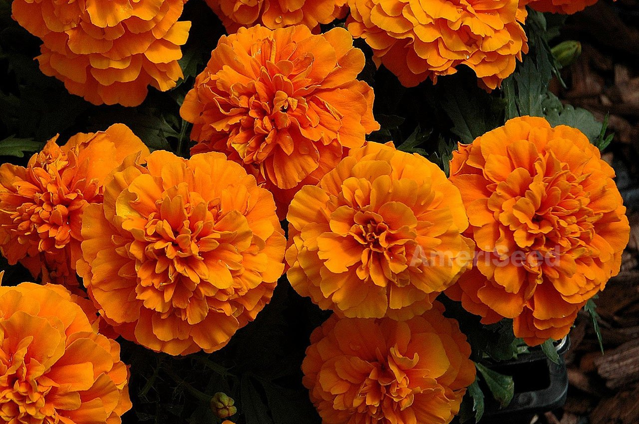 MARIGOLD-FRENCH-orange