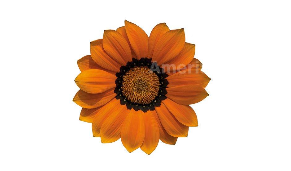 orange-with-ring-1