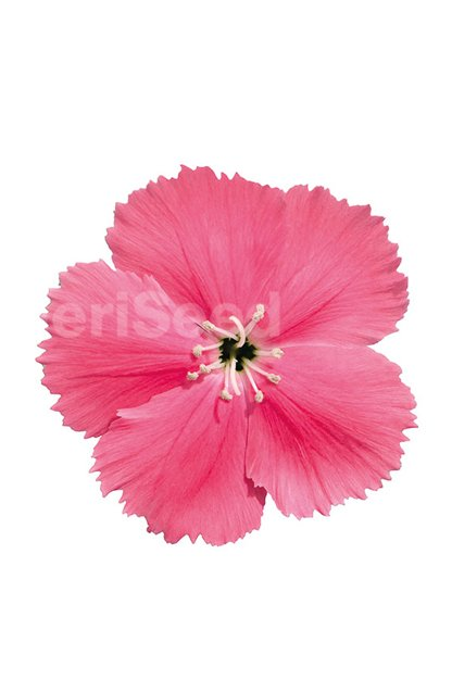 pink-35