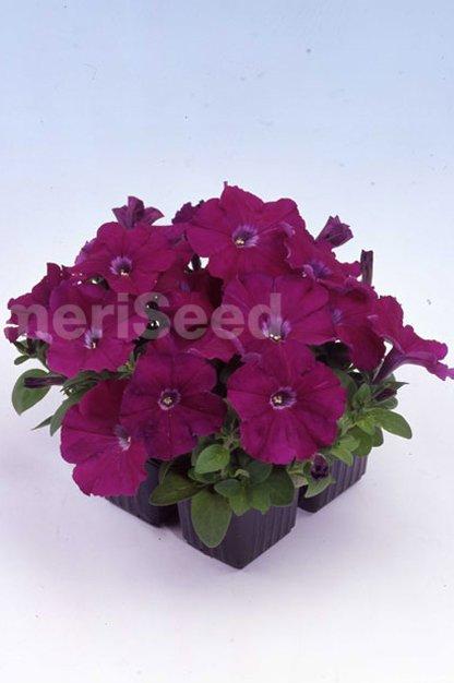 purple-21