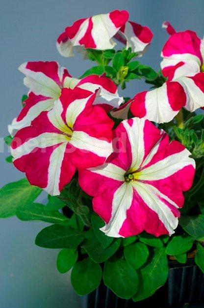 rose-star-x-1