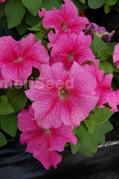 rose-veined-6
