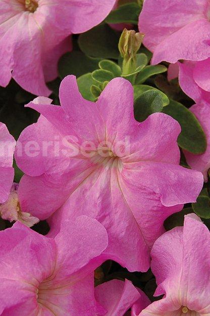 sweet-pink-7