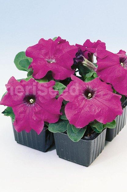 violet-25