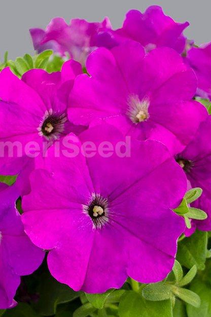 violet-29