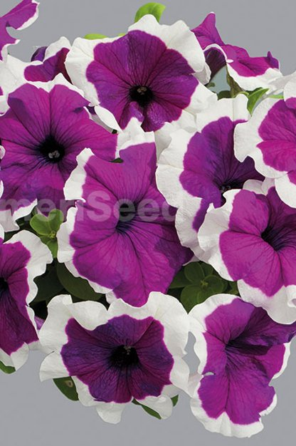 violet-picotee