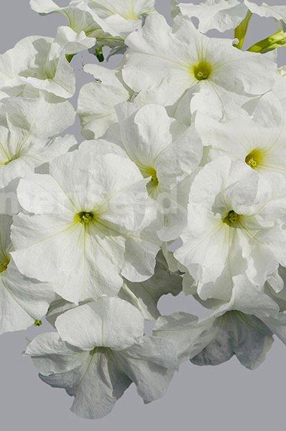white-11