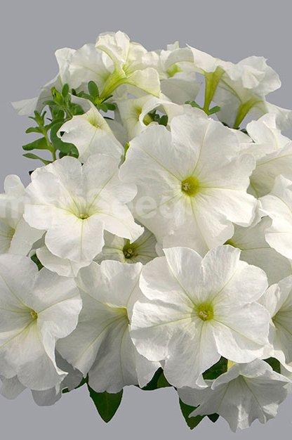 white-58