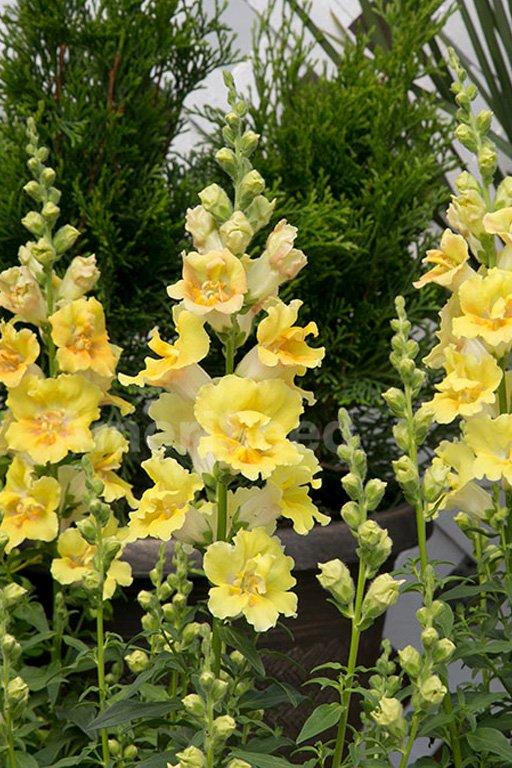 yellow-shades-6