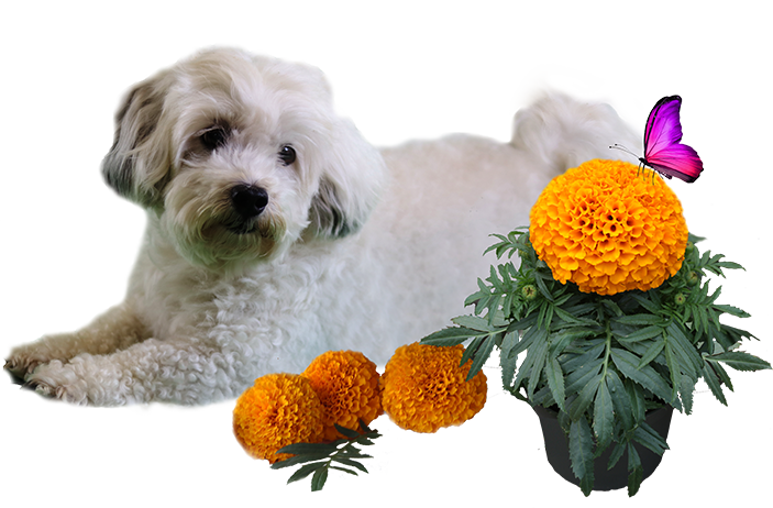Patch-and-Marigold-PNG