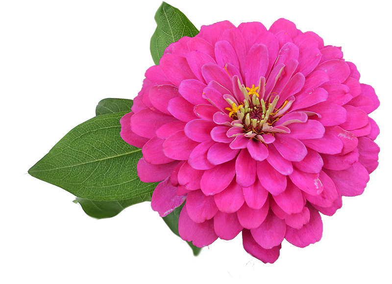Zinnia-Holi-Pink-008