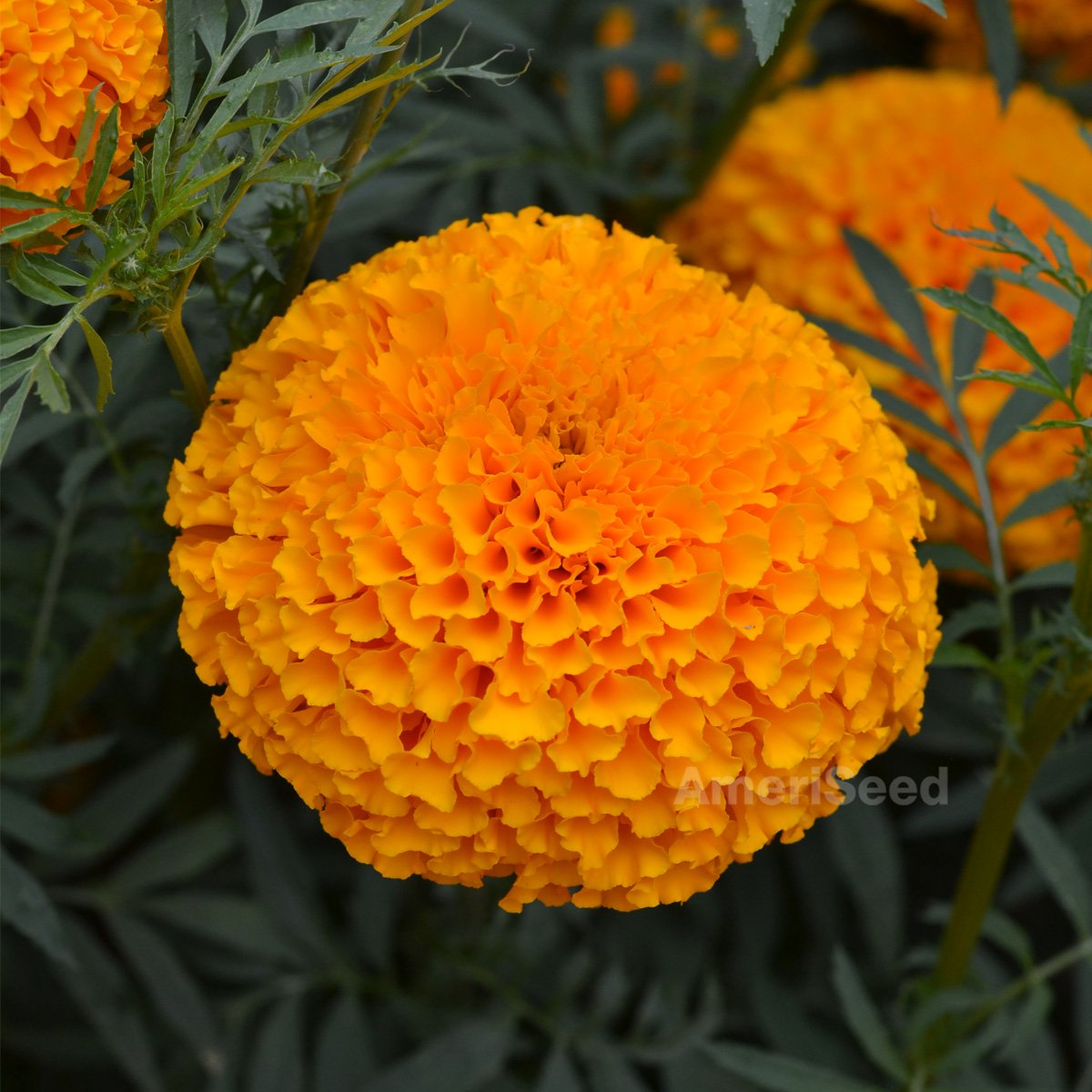 Marigold Giant Ducks F1 Orange