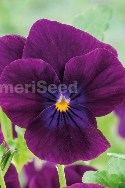 violet-31