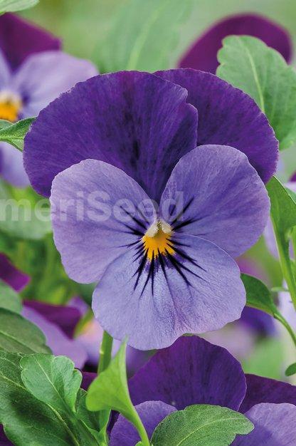 violet-flare-3