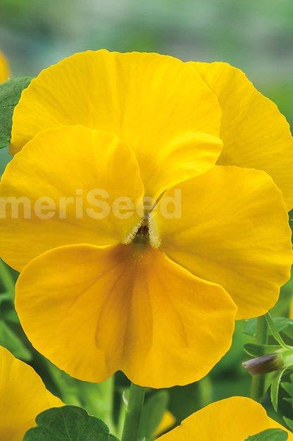 yellow-18