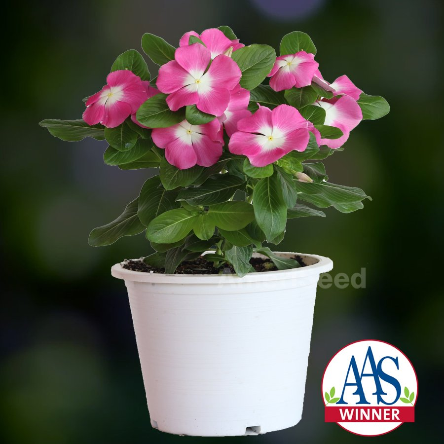 Vinca Mega Bloom Pink Halo