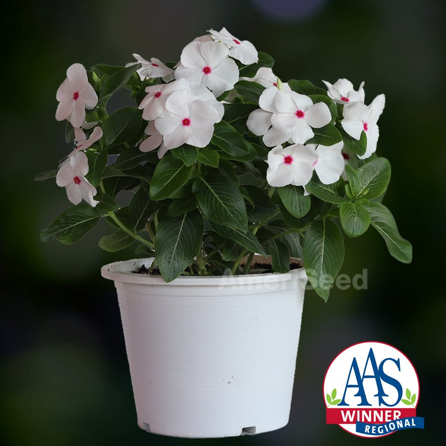 Vinca Mega Bloom Polka Dot